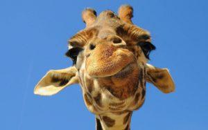 Funny Giraffe Quotes
